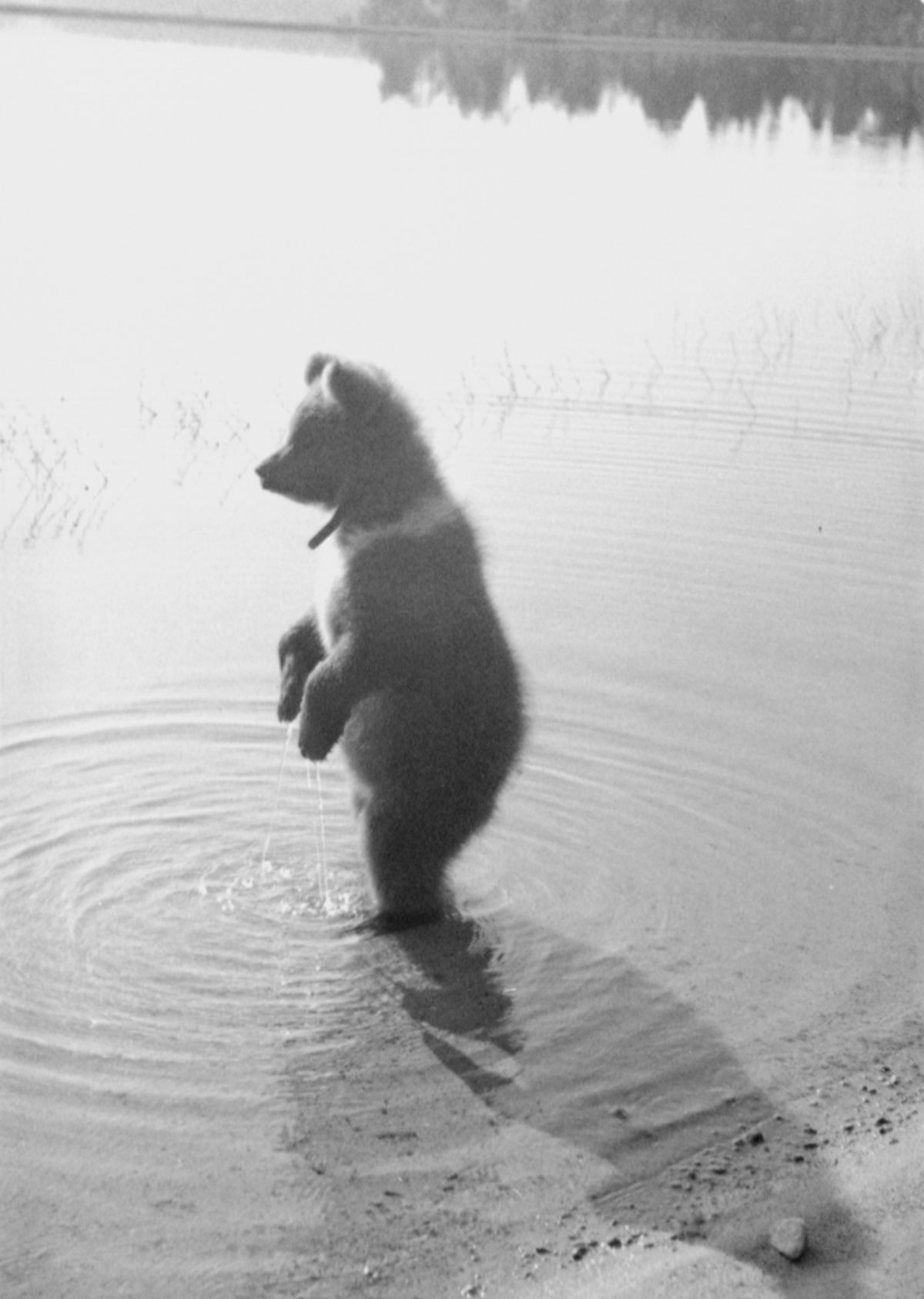 Mesikkä having a morning bath at lake Novika in 1944. Photo: Pauli Jänis / Picture Collections of the Finnish Heritage Agency
